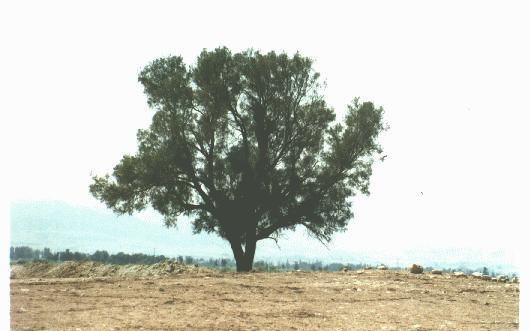 يهودي خلفي فتعال فاقتله إلا  الغرقد  فإنه من شجر  اليهود)) tree.jpg
